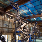 dinosauro bruxelles scheletro t-rex